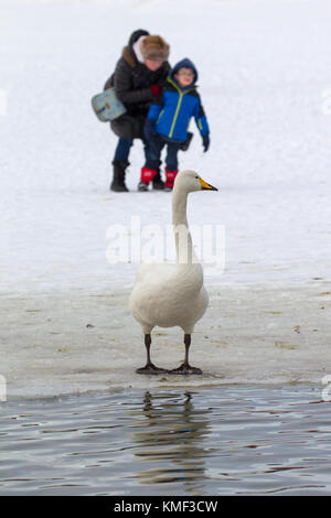 Grandmother with grandchild looking at whooper swan (Cygnus cygnus) standing on ice of frozen pond in winter - Stock Photo