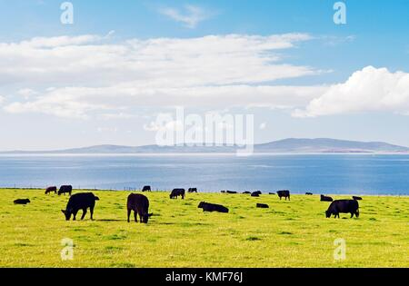 NW over Scapa Flow from near St. Margaret's Hope on island of South Ronaldsay, Orkney, Scotland. Cattle grazing - Stock Photo