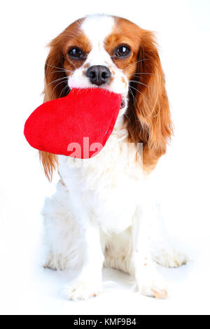 Dog with big heart. Lovely king charles spaniel pet photo for every concept. Dog Puppy with soft heart toy. Trained animal pet dog photos. Red heart with dog.