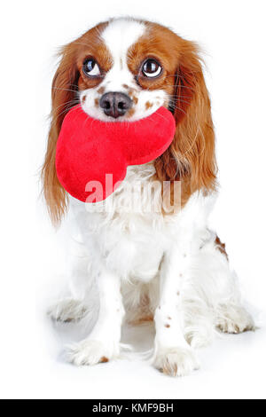 Cute cavalier king charles spaniel dog puppy on isolated white studio background. Dog puppy with plush big heart.