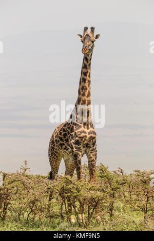 Solitary giraffe in Amboseli national park, Kenya. - Stock Photo