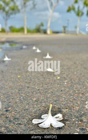 Frangipani flowers on a road after heavy rains, Townsville, Queensland, Australia - Stock Photo