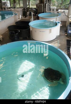 Sea turtles in tanks at the Marine Science Center sea turtle rehabilitation facility in Ponce Inlet, Florida, USA. - Stock Photo