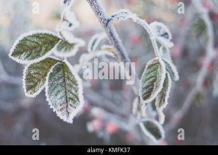 Hoarfrost crystals on sweetbrier leaves. - Stock Photo