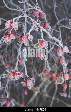 Frozen red rose hips. - Stock Photo