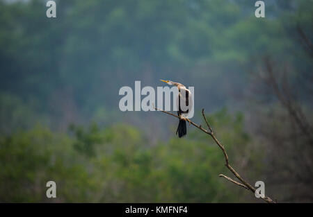 Perched Oriental Darter bird with neck out - Stock Photo