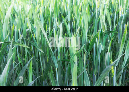 On the field growing young green wheat. Presents close-up. - Stock Photo