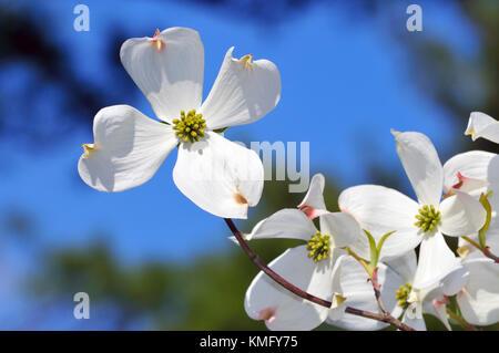 Flowering Dogwood detail. White flower on tree branch isolated on blue sky - Stock Photo