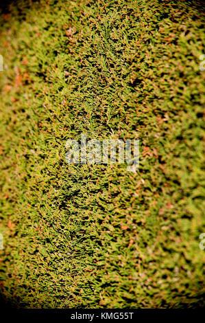 Yew hedge close up - Stock Photo