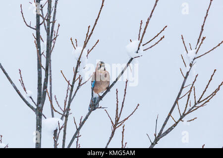 one natural eurasian jay bird (garrulus glandarius) sitting on snowy branch in winter - Stock Photo