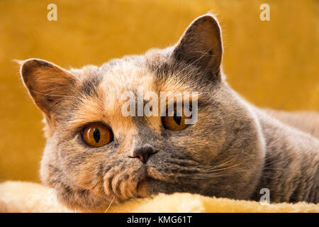 Close-up photo of a British shorthair cat lying on an orange sofa - Stock Photo