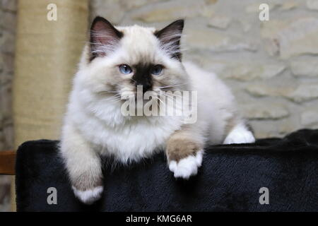 Ragdoll kittens, cats - Stock Photo