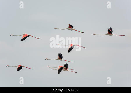 Rosaflamingo, Phoenicopterus roseus, Greater flamingo - Stock Photo