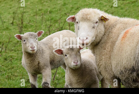 Chipping, Lancashire. 7th December, 2017. A Poll Dorset ewe with her twin lambs, Chipping, Lancashire. The breed - Stock Photo