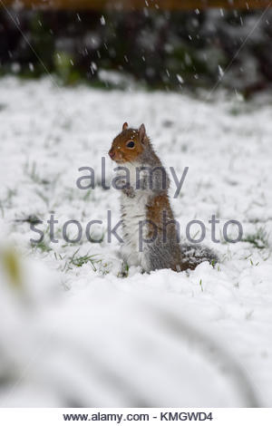 Shrewsbury, UK. 8th Dec, 2017. A grey squirrel searches in the snow for food during the heaviest snow fall of the - Stock Photo