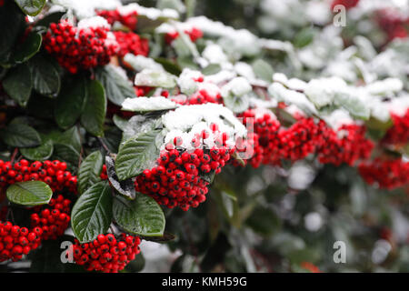 London, UK. 10th Dec, 2017. A tree is covered by snow in London, Britain on Dec. 10, 2017. Credit: Han Yan/Xinhua/Alamy - Stock Photo