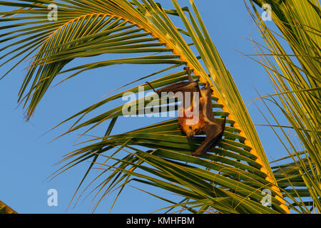 Mauritian flying fox (Pteropus niger) sitting in a palm tree near Le Morne in Mauritius, Africa. - Stock Photo