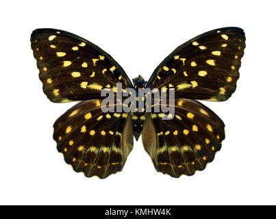 Beautiful exotic colorful Lexias Pardalis (female) butterfly isolated on white background - Stock Photo
