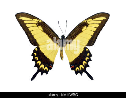 Beautiful colorful Papilio Lycophron butterfly isolated on white background - Stock Photo
