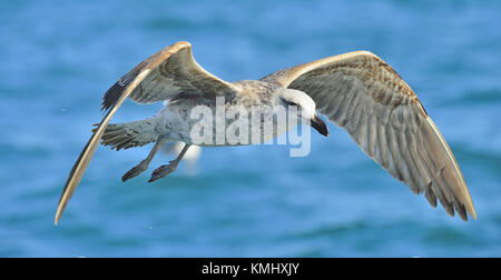 Flying Juvenile Kelp gull (Larus dominicanus), also known as the Dominican gull and Black Backed Kelp Gull. False - Stock Photo