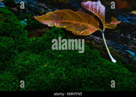 leaf on the moss of a fallen tree just before the first frost of the season - Stock Photo