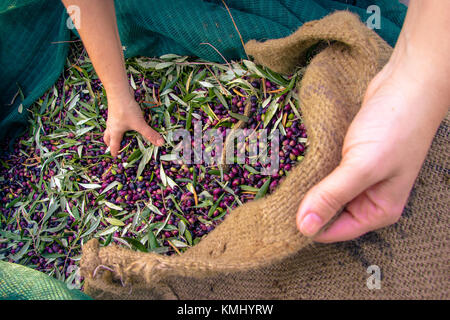 Harvested fresh olives in sacks in a field in Crete, Greece for olive oil production - Stock Photo