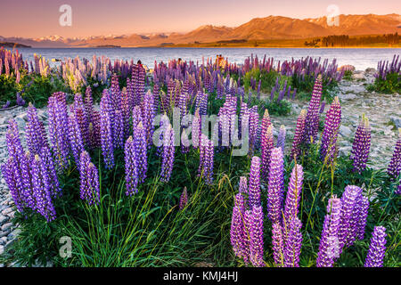 Lupins at Lake Tekapo, Mac Kenzie Country, New Zealand. - Stock Photo