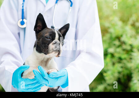 vet hands holding a Boston Terrier dog - Stock Photo