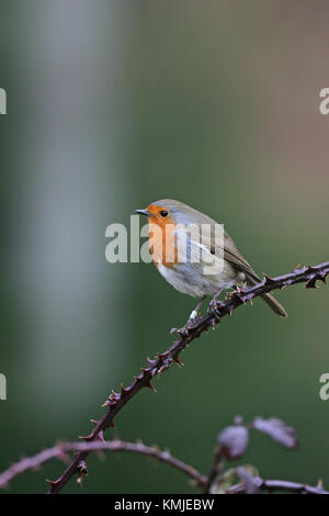 European robin Erithacus rubecula ringed bird perched in bramble Linwood New Forest National Park Hampshire England - Stock Photo