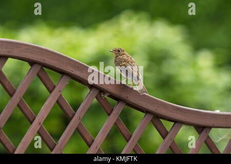 European robin Erithacus rubecula juvenile on garden trellis Ringwood Hampshire England UK July 2016 - Stock Photo