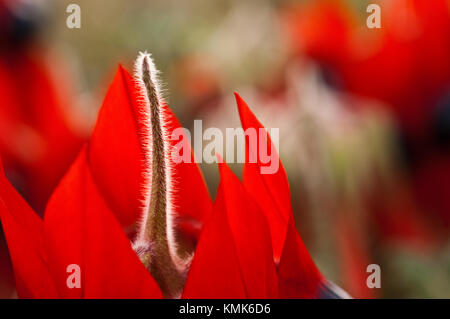 Sturt's Desert Pea flowers, a native of all mainland Australian states with the exception of Victoria. Floral Emblem - Stock Photo