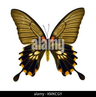 Beautiful exotic colorful butterfly Papilio Memnon isolated on white background - Stock Photo