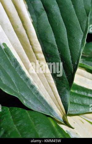 Hosta Patriot, Leaf Detail - Stock Photo
