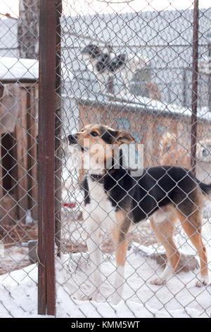 Shelter dog is a beautiful dog in an animal shelter looking through the fence wondering if anyone is going to take - Stock Photo