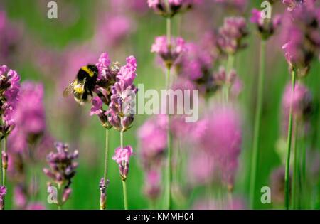 Lavender (Lavandula angustifolia) - Stock Photo
