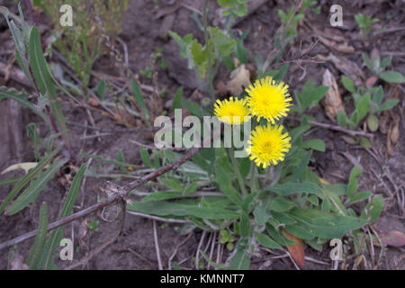 Hieracium pilosella, or mouse-ear hawkweed. Yellow forest flower with long stem and hairy leaves, grows  at the - Stock Photo
