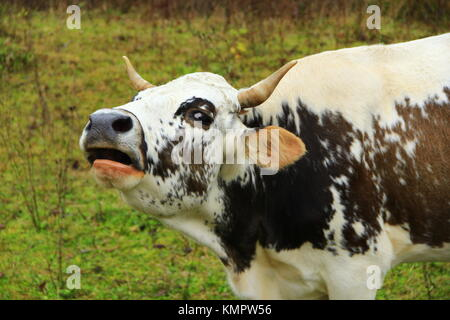 spotty cow cries loudly on the pasture - Stock Photo