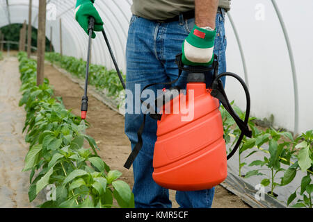 green pepper plant treatment with sprayer (insecticides, pesticides). Greenhouse. Agricultural production. - Stock Photo