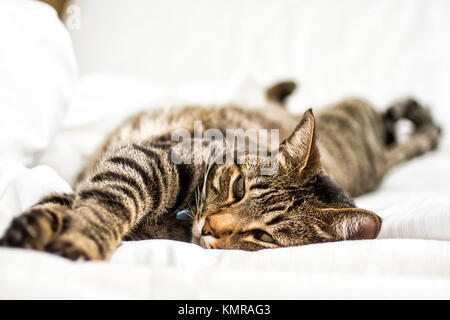 Domestic cat (Felis catus) aying down on bed. Florianopolis, Santa Catarina, Brazil. - Stock Photo