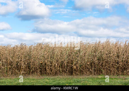 detail image of a faded field of corn in east hampton, ny - Stock Photo