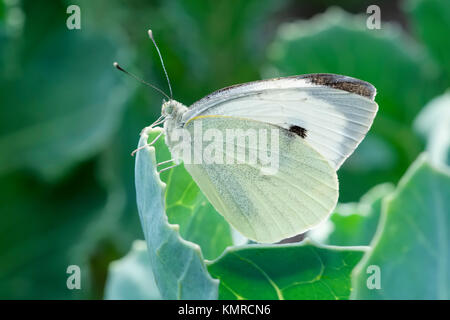 Large White Butterfly on sea kale leaf  Pieris brassicae - Stock Photo