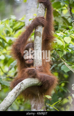 Baby orangutan (Pongo pygmaeus) on the tree. Natural green background. Borneo rainforest jungle, Indonesia. - Stock Photo