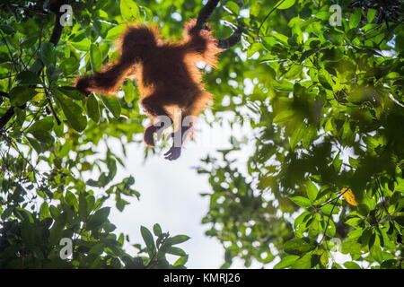 Baby orangutan (Pongo pygmaeus). The cub silhouette of an orangutan in green krone of trees.Baby orangutan (Pongo - Stock Photo