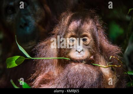 Baby orangutan (Pongo pygmaeus). The close up portrait of cub f of the orangutanon with green leaf on the dark background. - Stock Photo