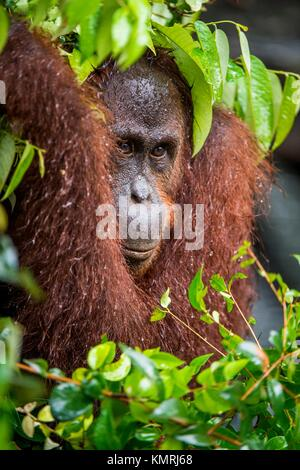 Bornean orangutan (Pongo pygmaeus) under rain in the wild nature. Central Bornean orangutan ( Pongo pygmaeus wurmbii - Stock Photo