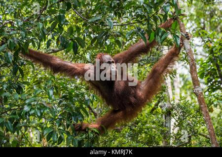 Bornean orangutan (Pongo pygmaeus) under rain on the tree in the wild nature. Central Bornean orangutan ( Pongo - Stock Photo