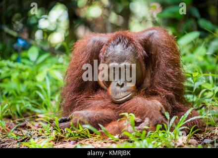Bornean orangutan (Pongo pygmaeus) in the wild nature. Central Bornean orangutan ( Pongo pygmaeus wurmbii ) in natural - Stock Photo