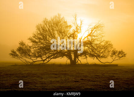 Old oak tree standing in a field set against the sun on a foggy morning. - Stock Photo