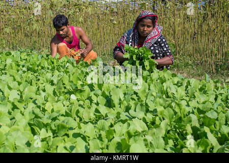 A vegetables farmer and his husband caring for their vegetable garden in which they used organic pesticides. - Stock Photo