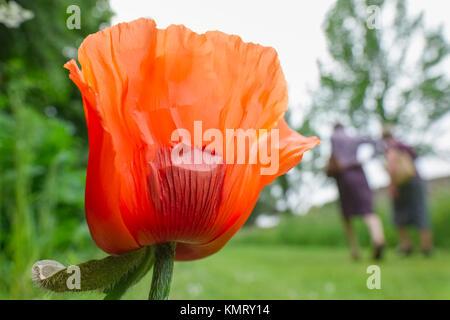 Oriental Poppy flower in garden with people walking - Stock Photo